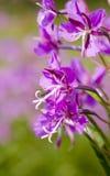 Willow-herb close up Stock Photos