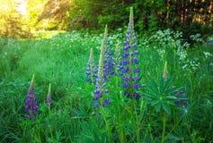 Willow-herb. Cyprus angustifolia or Ivan tea Stock Photos