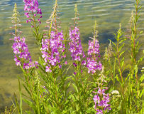 Willow herb Royalty Free Stock Images