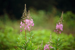 Willow herb flowering in field. Floral photo. Beautiful pink willow herb flowers blooming in open field. Floral photo stock images