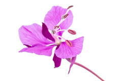 Willow-herb. Flowering plant of Willow-herb, it is isolated on a white background Royalty Free Stock Images