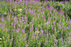Willow herb flowers Stock Photo