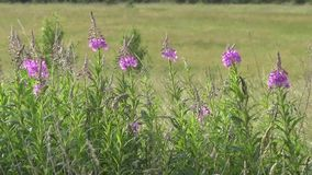 Willow herb (Ivan tea) Chamaenerion stock footage