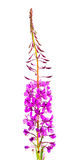 Willow-herb (Ivan-tea) Royalty Free Stock Photography
