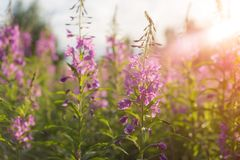 Willow herb Ivan tea in the warm summer light. Royalty Free Stock Photography