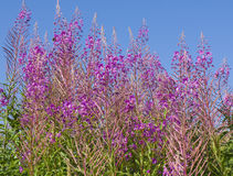 Willow herb Stock Photos
