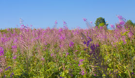 Willow-herb Stock Photo