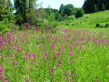 Willow-herb meadow Chamerion Angustifolium Fireweed Rosebay. Willowherb Stock Images