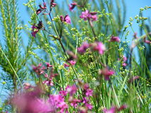 Willow-herb meadow Chamerion Angustifolium Fireweed Rosebay Royalty Free Stock Images