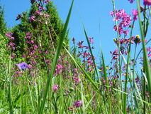 Willow-herb meadow Chamerion Angustifolium Fireweed Rosebay. Willowherb Stock Photos