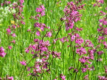 Willow-herb meadow Chamerion Angustifolium Fireweed Rosebay. Willowherb Royalty Free Stock Photography
