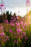 Willow-herb Stock Image