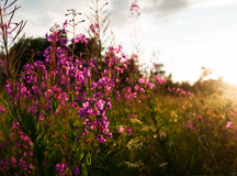 Willow-herb Royalty Free Stock Image