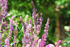 Willow-herb purple flower in the garden royalty free stock image