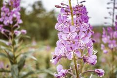Willow-herb at sunset. Nature landscape royalty free stock photo