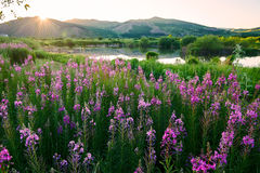 The willow herb sunset Stock Photo