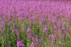 Willow-herb violet bloom Stock Image