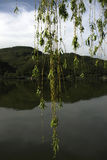 Willow. Illuminated by the sun on the Danube River Stock Photography