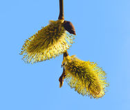 Willow inflorescence Royalty Free Stock Images