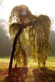 willow japan potoki łez obrazy royalty free