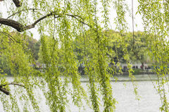 Willow by the lake stock photography