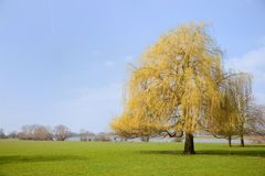 Willow in landscape Royalty Free Stock Photography