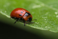 Willow leaf beetle stock photo