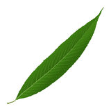 Willow leaf Royalty Free Stock Image