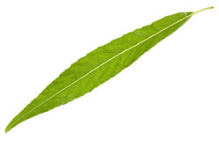 Willow leaf isolated Royalty Free Stock Photos