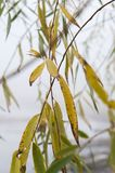 Willow leafs, autumn, foggy day royalty free stock photo
