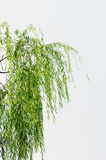 Willow leaves Royalty Free Stock Photo