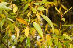 Willow leaves close. Soft focus stock images