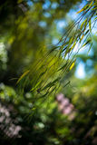 Willow Leaves Stock Images