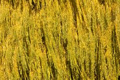 Willow leaves in fall Stock Photos