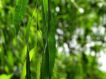 Willow leaves on green background royalty free stock images