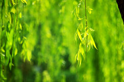 Willow leaves Stock Photos