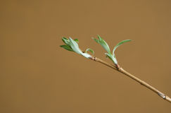 Willow with leaves. Pussy-willow with blooming leaves Royalty Free Stock Image