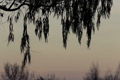 Willow leaves silhouette. Twilight tree royalty free stock photo