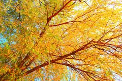 Willow leaves, tree royalty free stock photography