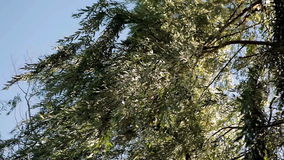 Willow leaves in the wind stock footage