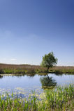 Willow. A lonely willow in Danube delta Royalty Free Stock Images