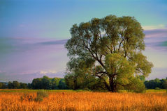 Willow on the meadow Stock Photography