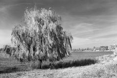 Willow near the lake Royalty Free Stock Image