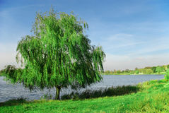 Willow near the lake. Picture of blue sky and lonely willow near the lake Stock Photography