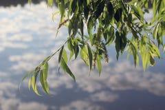 Willow near the lake Stock Photo
