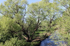 Willow near the river. Which spread its branches stock image