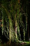 Willow at night Stock Photography