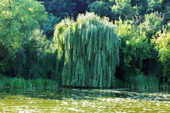 Willow with other trees on the river bank Royalty Free Stock Images