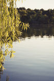 Willow over the lake Stock Photography