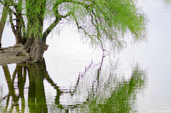 Willow over the water Royalty Free Stock Photo